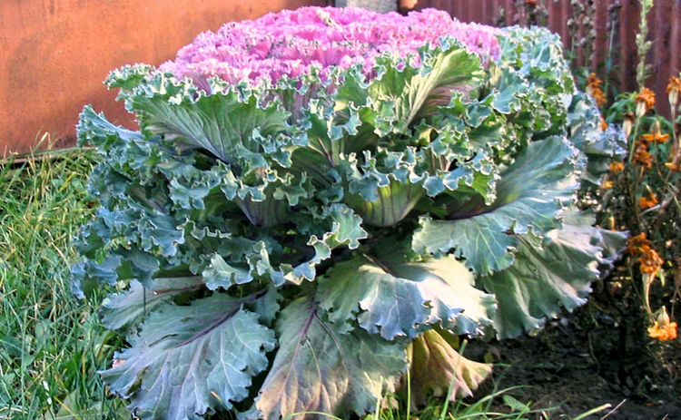 SLAW Beauty In Nature Cabbage Close-up Day Flower Flower Head Freshness Green Color Growth Leaf Nature No People Outdoors Plant Purple Vegetable