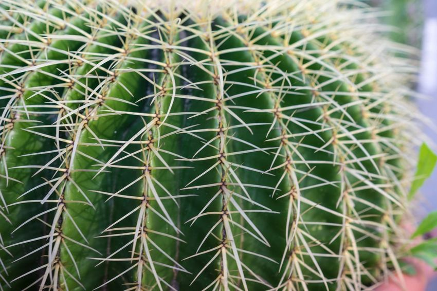 Echinocactus Grusonii Cactus Backgrounds Beauty In Nature Cactus Close-up Day Echinocactus Echinocactus Grusonii Full Frame Green Color Growth Grusonii Nature Needle No People Outdoors Plant Spiked Succulent Thorn