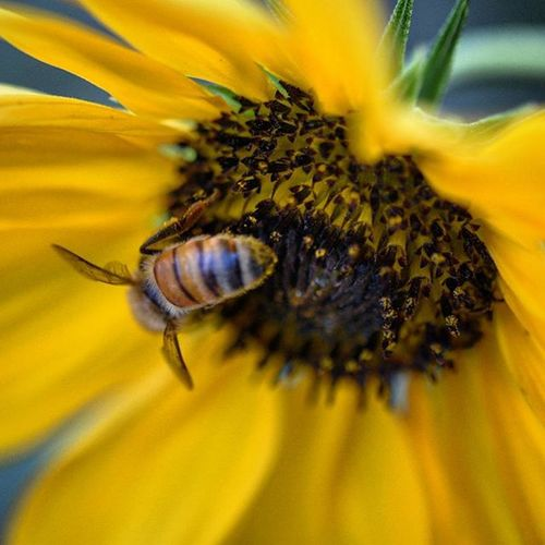 Busy Bee Macro Nikonphotography D7200 India Nature Photography Iamnikon Iamexclusive Iamshutterbug Pushpamverma Wildlife