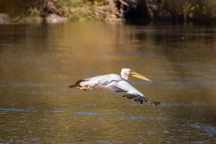 Escaped from austrian zoo Animal Themes Water Animals In The Wild Animal Animal Wildlife Vertebrate Bird Lake Waterfront No People Nature Day Water Bird Outdoors Pelican Pelikan Escaped Isar Bayern Germany Moosburg Moosburg An Der Isar River Low Flying Birds Low Flying Aircraft