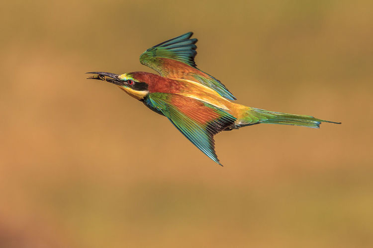 The European bee-eater is both beautiful and an excellent hunter Bird Animal Themes Animal Animals In The Wild Animal Wildlife Vertebrate One Animal Flying Spread Wings Mid-air No People Motion Focus On Foreground Close-up Day Nature Outdoors Hummingbird Full Length Looking Flapping Bee-eater Hungary Orange Color Colourful