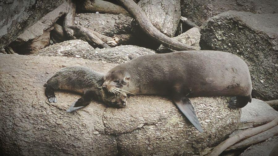 Seal Sealion