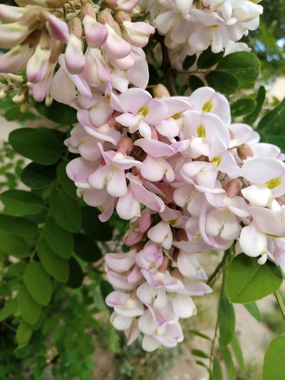 Acacia Tree Flower Fragility Petal Beauty In Nature Nature Blossom Freshness Close-up Growth Botany Plant Flower Head Pink Color Day Springtime No People Outdoors Branch Scented Tree