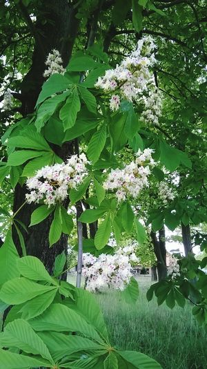 Chestnut Blossoms Chestnut Tree
