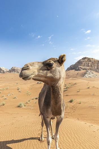 Close-up of camel looking away at desert
