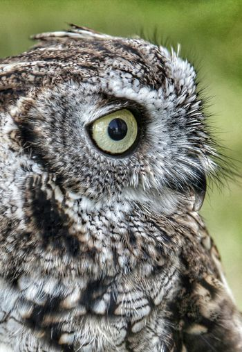 EyeEm Best Shots EyeEmNewHere EyeEm Best Edits EyeEm Best Shots - Nature Eyemphotography Owl Photography Animal Eye Close-up Eye Nature Beak Owl Bird Of Prey Owls Are Cute Owllife Birds_collection Bird Photography Birds Of EyeEm
