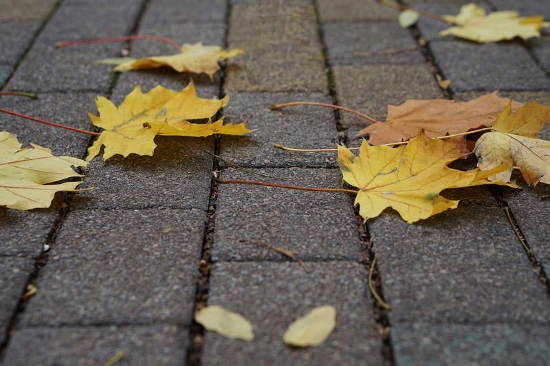 High angle view of yellow maple leaves on street