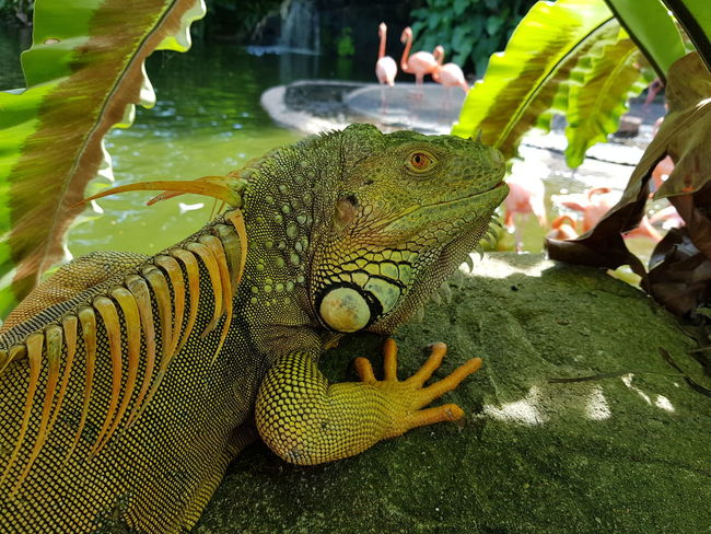 Animal Animal Themes Animal Wildlife Animals In Captivity Animals In The Wild Close-up Day Focus On Foreground Green Color Iguana Incidental People Lizard Marine Nature One Animal Outdoors Plant Plant Part Reptile Vertebrate