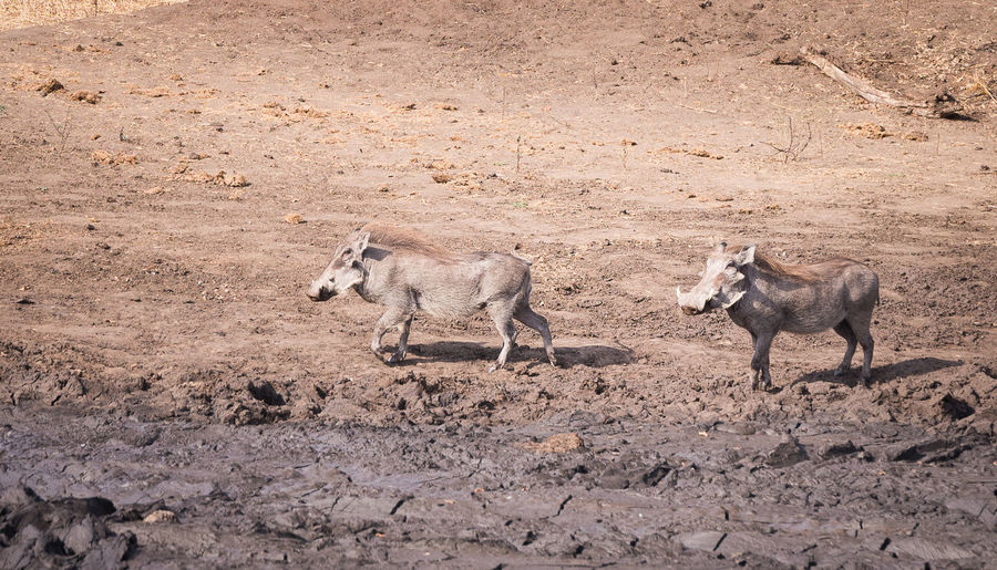 Warthogs on dry field