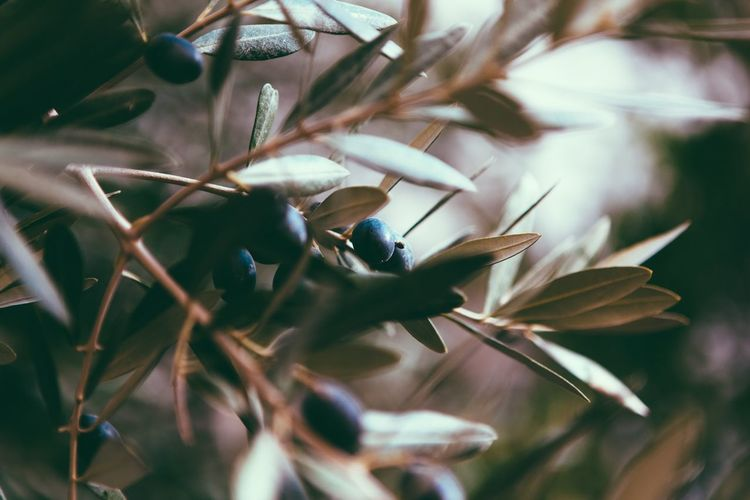 Close-up of olives on tree