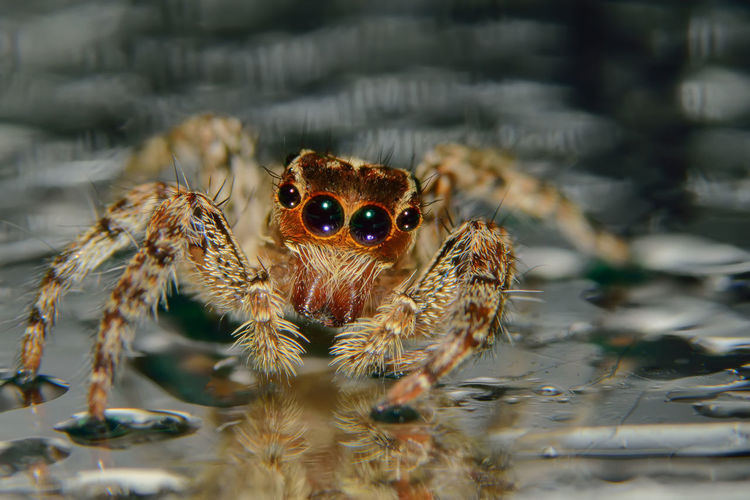 Close-Up Of Jumping Spider On Water