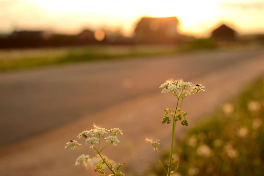 Beauty In Nature Countryside Dandelion Field Day Field Flower Golden Hour Growth Nature No People Outdoors Plant Plants And Flowers Rural_living Rural Road Sommergefühle Summer Fields Summertime Sunset Lighting  Summer Exploratorium