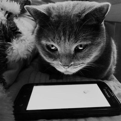 Cat game Pets One Animal Blue Cat FelineDomesticus Felinelove Felinefaces Feline Love Felinephotography Felinefriends British Cat Britishcat Britishshorthair Cateyes Cat Photography Cats 🐱 Cat Lovers Cats Of EyeEm Cat♡ Cat