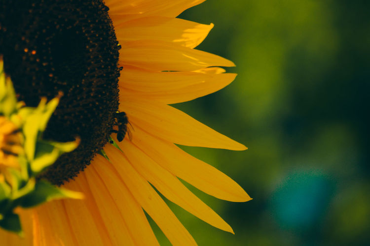 Close-up of yellow butterfly on sunflower