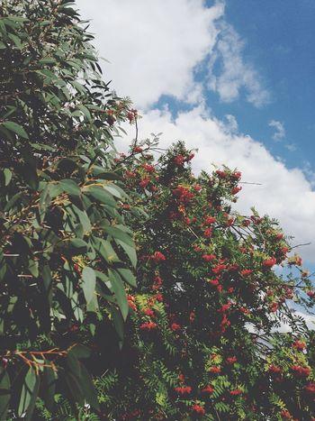 Eucalyptus Rowan Tree Cloud White Blue Fluffy Green Leaves Redberries