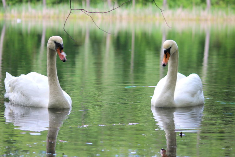 Animal Themes Animals In The Wild Beak Beauty In Nature Bird Close-up Cygnet Day Floating On Water Lake Nature No People Outdoors Reflection Swan Swimming Togetherness Water Water Bird Young Animal