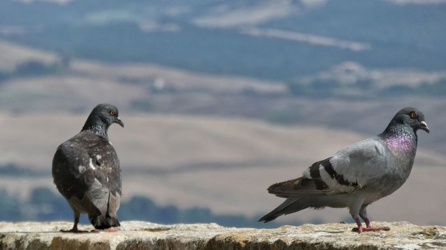 couple of doves sitting on a wall with view to tuscany landscape Dove Love Doves On A Wall Landscape In Background Two Doves EyeEm Gallery EyeEm Nature Lover Animal Photography Animals Portrait Of Animal Bird Full Length Water Looking At Camera Close-up Sky Beak