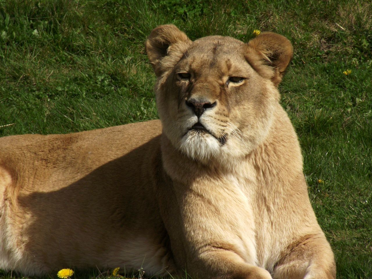 Close-Up Of Lioness Sitting On Field