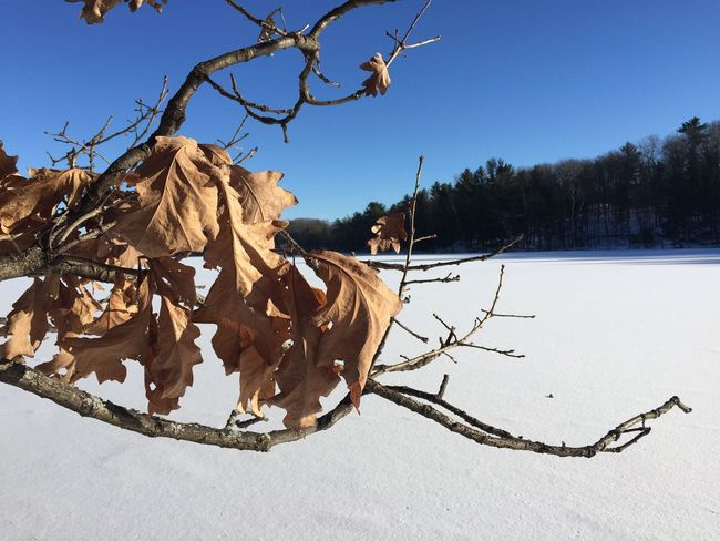 Lake View Cold Temperature Winter Northern Wisconsin Branch Snow Beauty In Nature Landscape Oak Oak Leaves Oak Tree Frozen Lake Lake Lakeshore