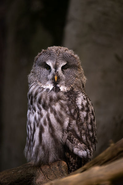 Owl in the forrest Animal Eye Animal Wildlife Animals In The Wild Bird Bird Of Prey Close-up Day Focus On Foreground Looking Looking Away Nature No People One Animal Outdoors Owl Portrait Vertebrate