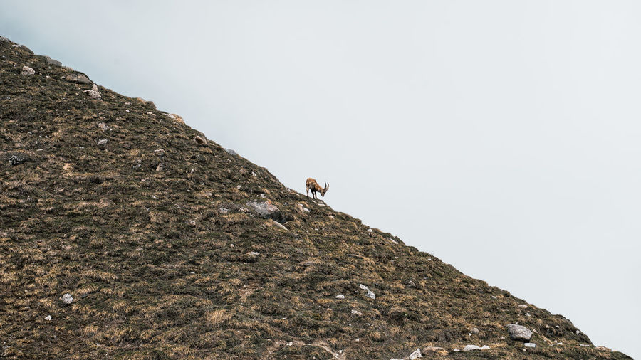 Low angle view of alpine ibex on rock against clear sky