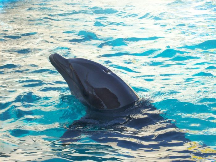 Dolphin Animal Themes One Dolphin El Cici Acapulco Swimming Water Aquatic Mammal No People Sea Life Mexico 2007
