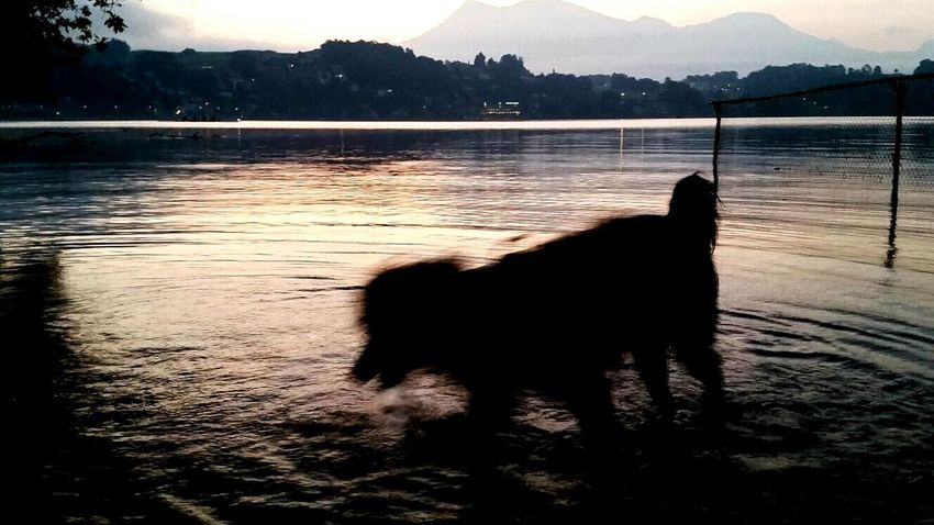 Dogs Water Silhouette Pets Lake Luzern Lake Lucerne Tranquil Scene Switzerland Luzern Taking Photos Dogs Life