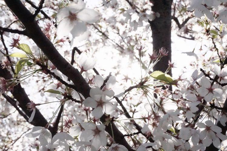 Sakura in Toronto Sakura Cherry Blossoms Toronto Torontophotographer Toronto Canada Photo Photography Flower Tree Nature