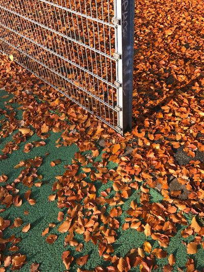 Common Beech Leaves Fallen On Playing Field During Autumn