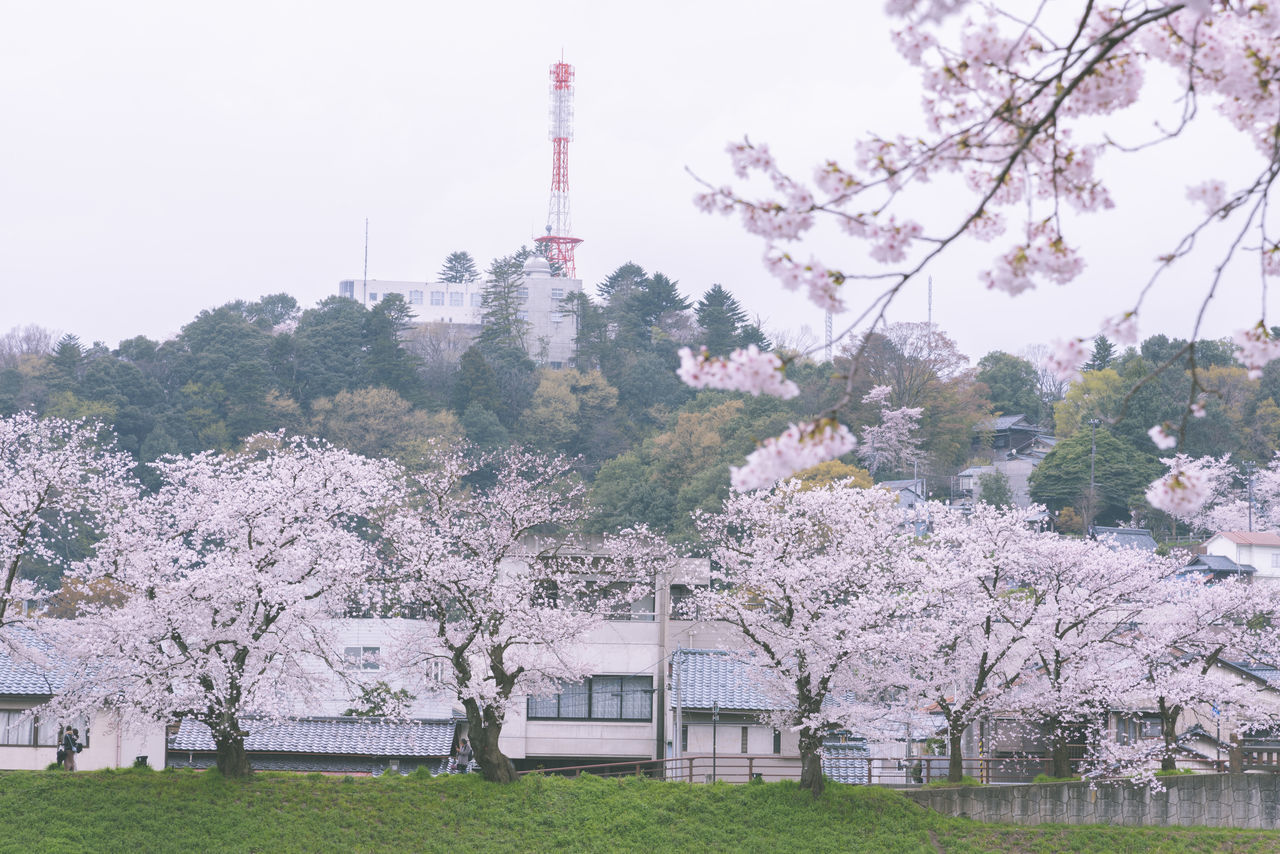 VIEW OF CHERRY BLOSSOM TREE AGAINST BUILDINGS