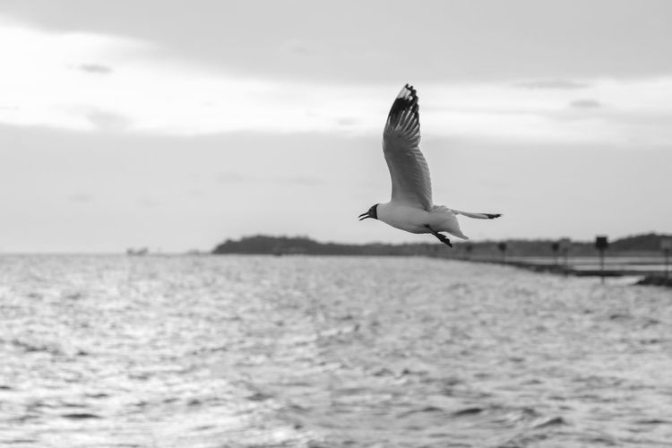 Seagulls flying. Black & White Animal Animal Themes Animal Wildlife Animals In The Wild Beauty In Nature Bird Birds Blackandwhite Cloud - Sky Day Flying Nature No People One Animal Outdoors Scenics - Nature Sea Seagull Sky Spread Wings Vertebrate Water Waterfront