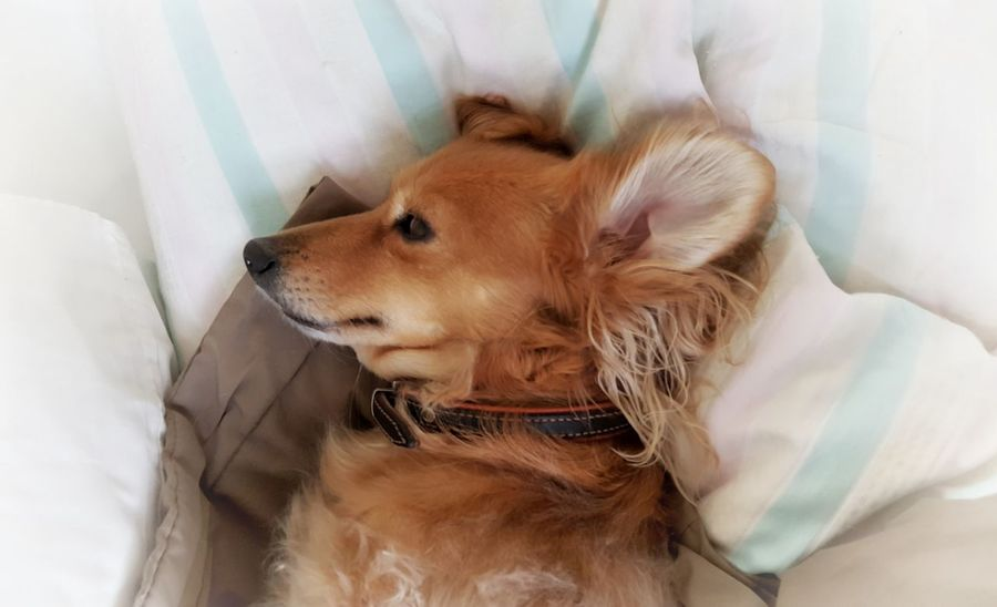 Animal Themes AntiM Brown Close-up Day Dog Dog In Bed Dog Portrait Dogs Portrait Domestic Animals Golden Retriever Indoors  Mammal No People One Animal Pets Relaxation SweetSally Pet Portraits