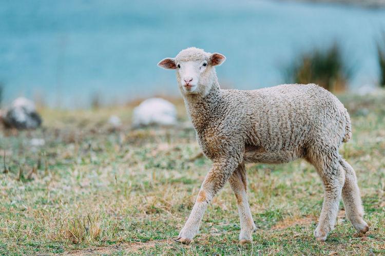 Portrait of a sheep on field