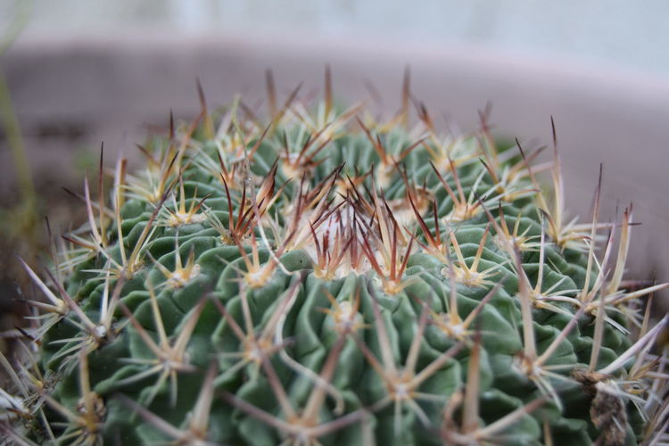 Close-up of barrel cactus