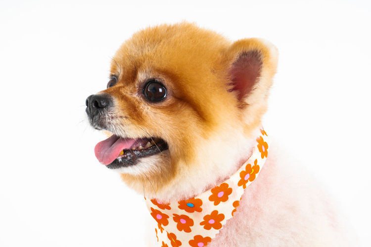 Isolated closeup portrait Pomeranian dog smiling with funny face on the white background. Studio shot of small brown puppy