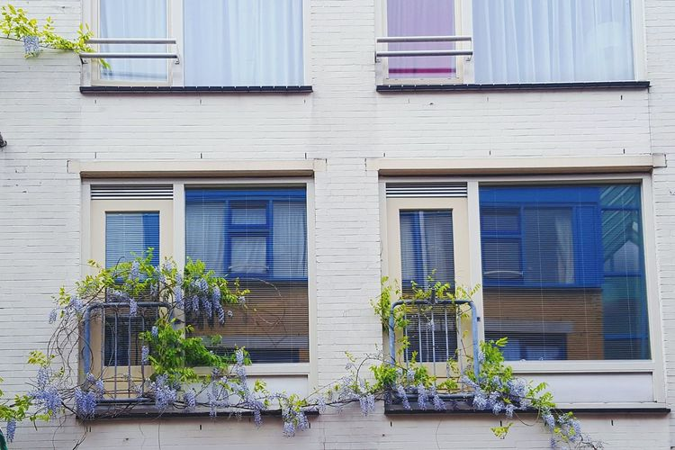 Building Exterior Architecture Built Structure Shutter Façade Window Home Ownership Door Outdoors No People Old-fashioned Residential Building Wood - Material Day Rotting Amsterdam Flowers Flower Collection Taking Pictures Amsterdam Flores Glicine Colorful Nature City Taking Photos
