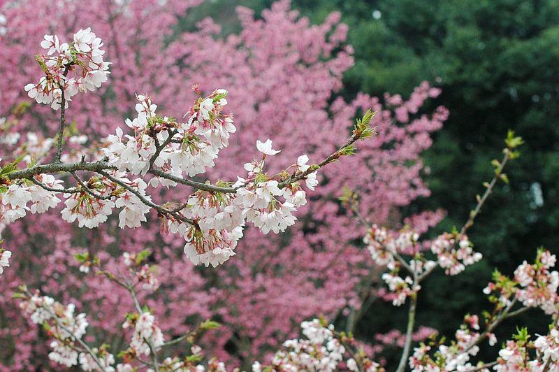 Showcase March Blossom Sakura Cherry Blossoms 春 桜 Spring Pink