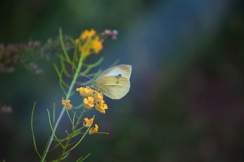 butterfly in sunbeam EyeEm Selects Animal Wildlife Invertebrate Insect Animal Themes Flower Beauty In Nature Animal Animal Wing Flowering Plant Animals In The Wild Plant One Animal Butterfly - Insect Focus On Foreground Nature Close-up Yellow Fragility No People Vulnerability