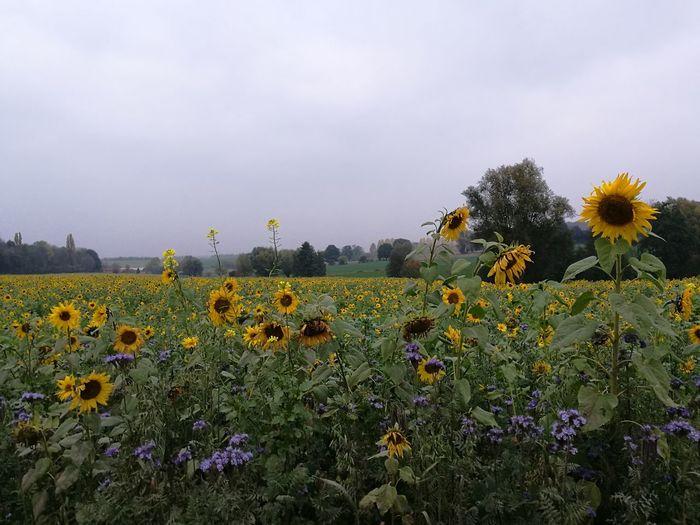 Tournesols Flower Nature Plant Agriculture Brainelecomte Promenade Boisdelahoussiere