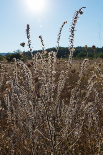 Seed Head Fields Fieldscape Fields Of Gold Plants Plantlife Crops Flower Head Flowers Flowers And Sky Flora Seeds Plant Tranquility No People Nature Focus On Foreground Close-up Outdoors Sky Growth Beauty In Nature EyeEm Nature Lover EyeEm Best Shots - Nature