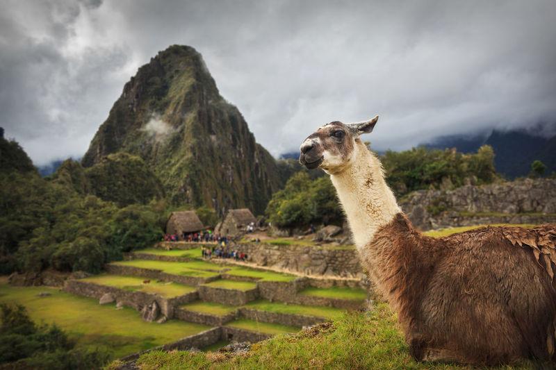 Alpaca standing on mountain