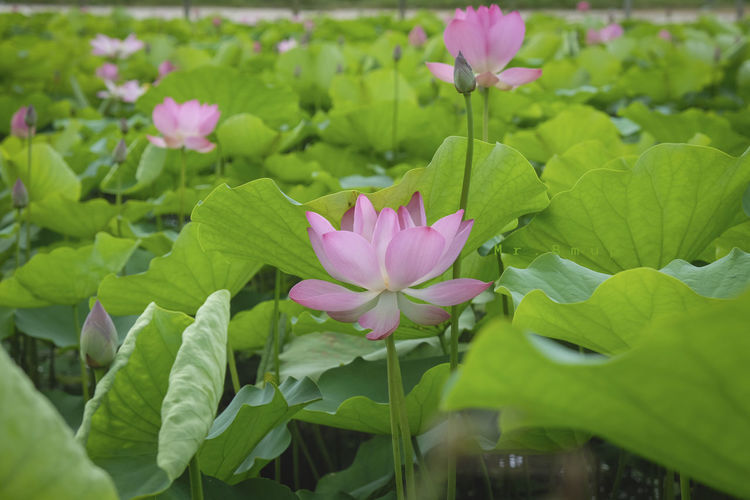 Buddha Logo Beauty In Nature Close-up Flower Flower Head Flowering Plant Fragility Freshness Green Color Growth Inflorescence Lotus Lotus Water Lily Nature No People Outdoors Petal Pink Color Plant Plant Part Religion Vulnerability  Water Lily