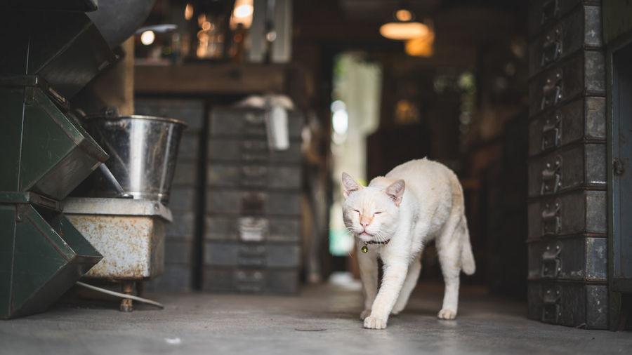 Full Length Of White Cat