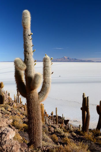 Gigantic cactus at Isla Incahuasi. Salar de Uyuni. Bolivia Altitude Beauty In Nature Bolivia Cacti Cactus Desert Deserts Around The World Eyeem Bolivia Incahuasi Isla Incahuasi Landscape Nature Outdoors Salar De Tunupa Salar De Uyuni Salt Salt Flat Scenics Tunupa Uyuni Uyuni Salt Flat Uyuni, Bolivia Miles Away