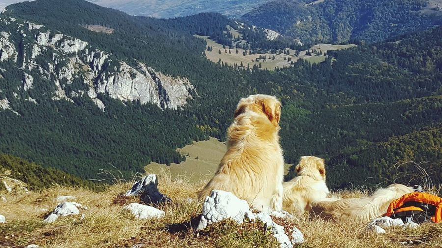 Golden dogs on top Mountain Romania Brasov Golden Retriever EyeEm Selects High Angle View Animal Themes Close-up Rocky Mountains Rock Formation Geology
