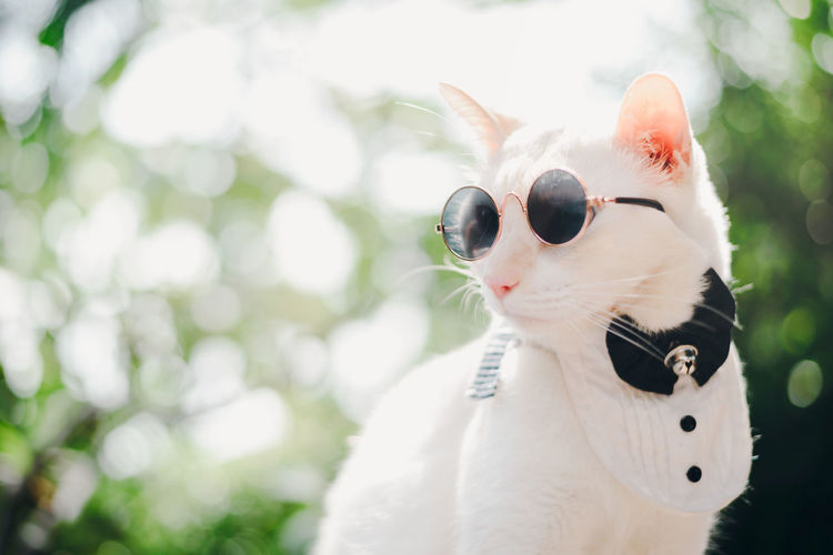 Portrait of Tuxedo White Cat wearing sunglasses and suit,animal fashion concept. One Animal Animal Themes Pets Animal Domestic Domestic Animals Vertebrate Domestic Cat Cat Mammal Feline Focus On Foreground White Color Looking Day Close-up Looking Away Whisker Animal Body Part Animal Head  Whitecat Suit Tuxedo Sunglasses EyeEmNewHere