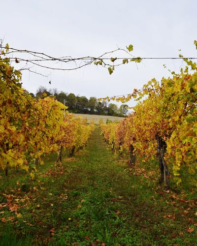 Scenic view of vineyard against sky during autumn