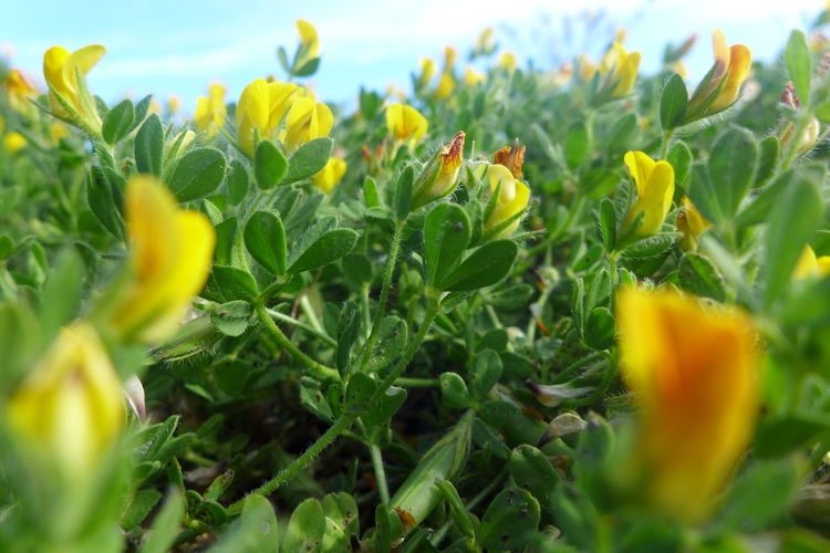 Beach Plant Close-up Flower Focus On Foreground Fragility Freshness Green Green Color Growing Growth Leaf Nature Plant Sand Plants Sea Plant Selective Focus Tranquility Yellow Yellow Flower