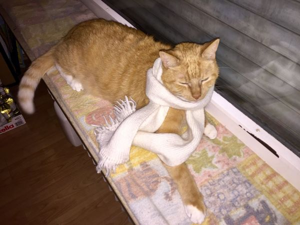 Katze mit Schal 🐈🎗💖 My Cat TIP Is Purring Always Loud! 😸✨ Ginger Cat White Weiss Schal Cat #cute #love Cat Collection Cat Face Cat Photography Something Special Katzen 💜 Domestic Cat Domestic Animals Pets High Angle View Indoors  Mammal Feline