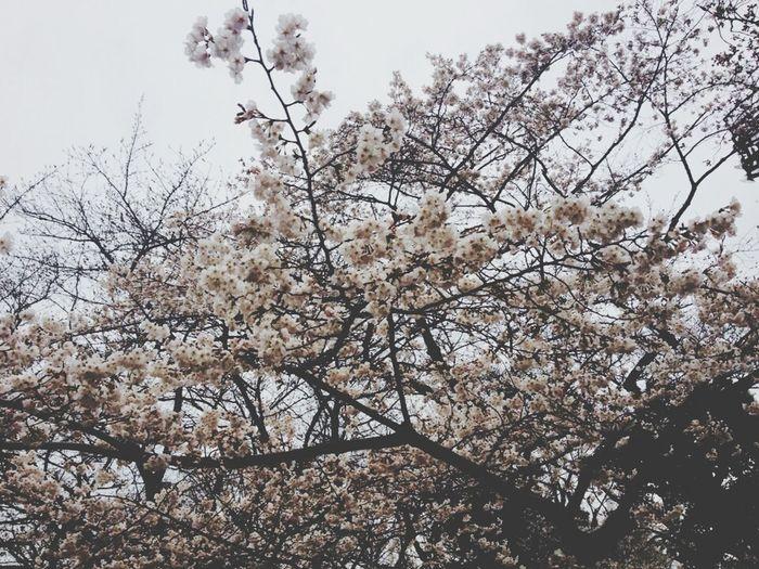 Sakura by.Nishiguchi Yoshiki